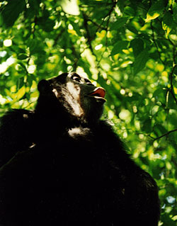Wild Chimpanzee From the Budongo Forest