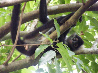Female Spider Monkey in Belize