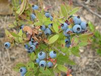 Sandy Blueberries